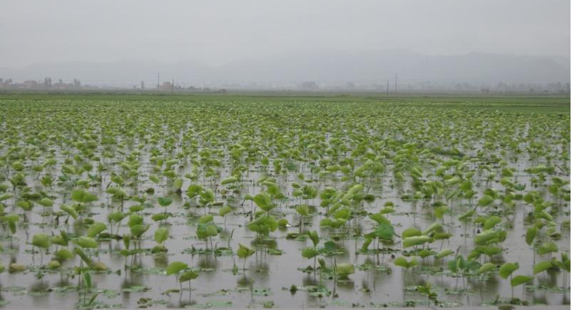 藕池专用膜高效种植模式