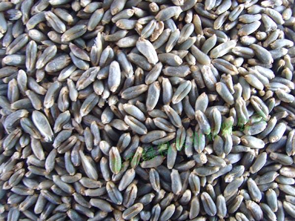 绿小麦种子