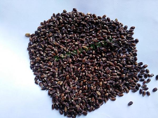 黑小麦种子