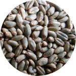 绿小麦叶尖发黄的原因及处理
