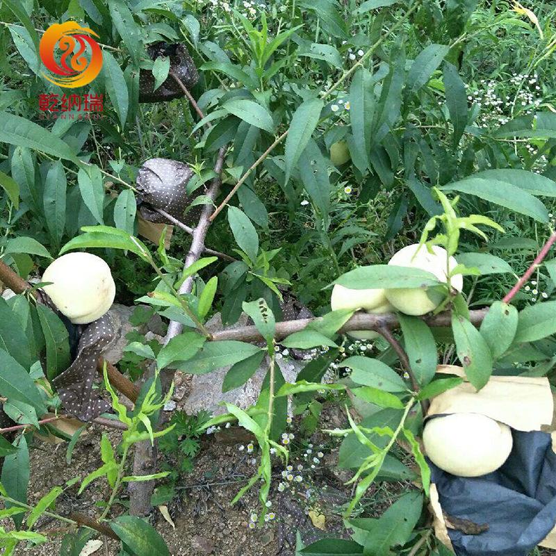 新品种桃树苗