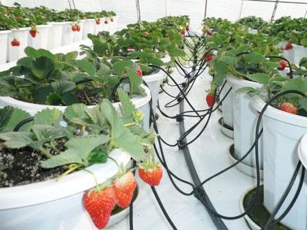 【大棚滴灌管】大棚滴灌让农作物有更好的生长环境