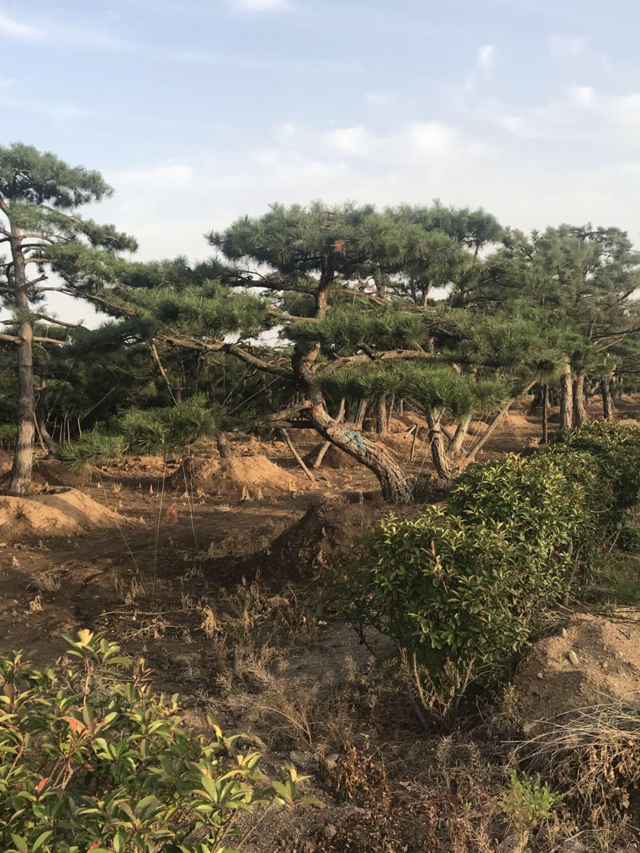山东造型景松