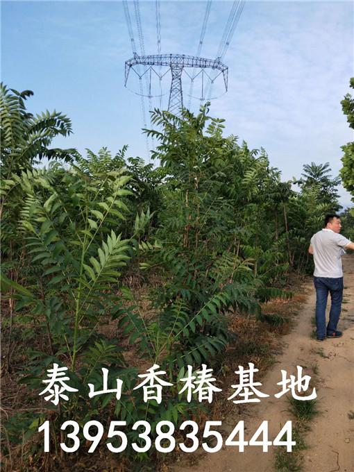 矮化香椿树苗