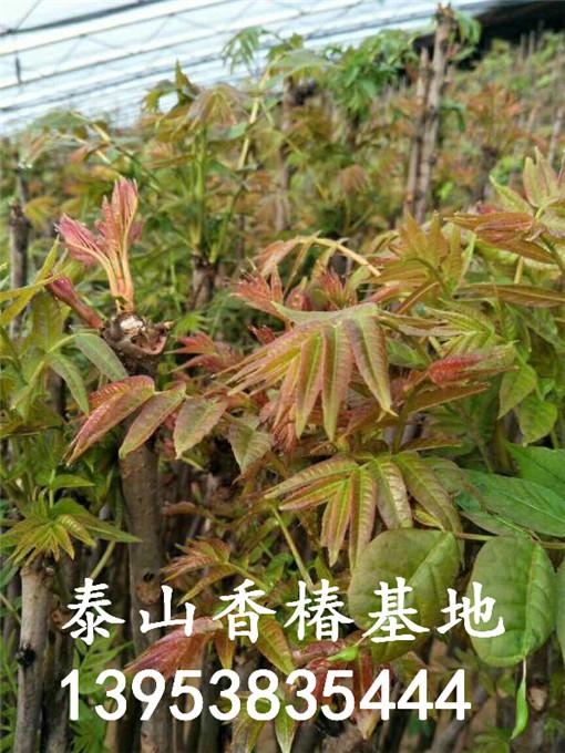 红油香椿树苗批发