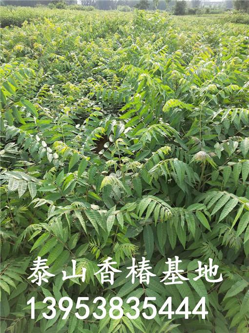 大棚香椿树苗