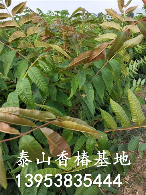 红油香椿树苗