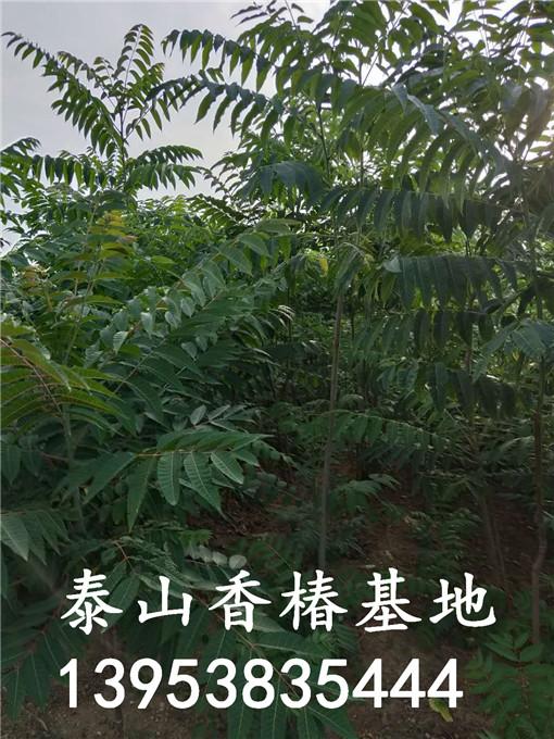 泰山红油香椿苗