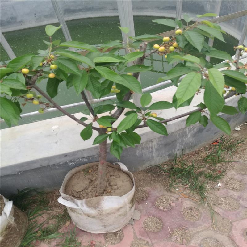 矮化樱桃苗基地