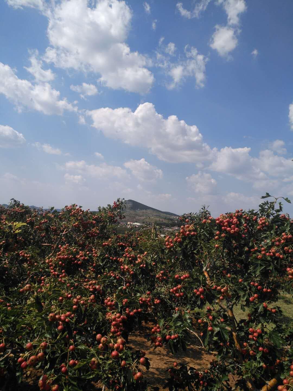 甜红子山楂