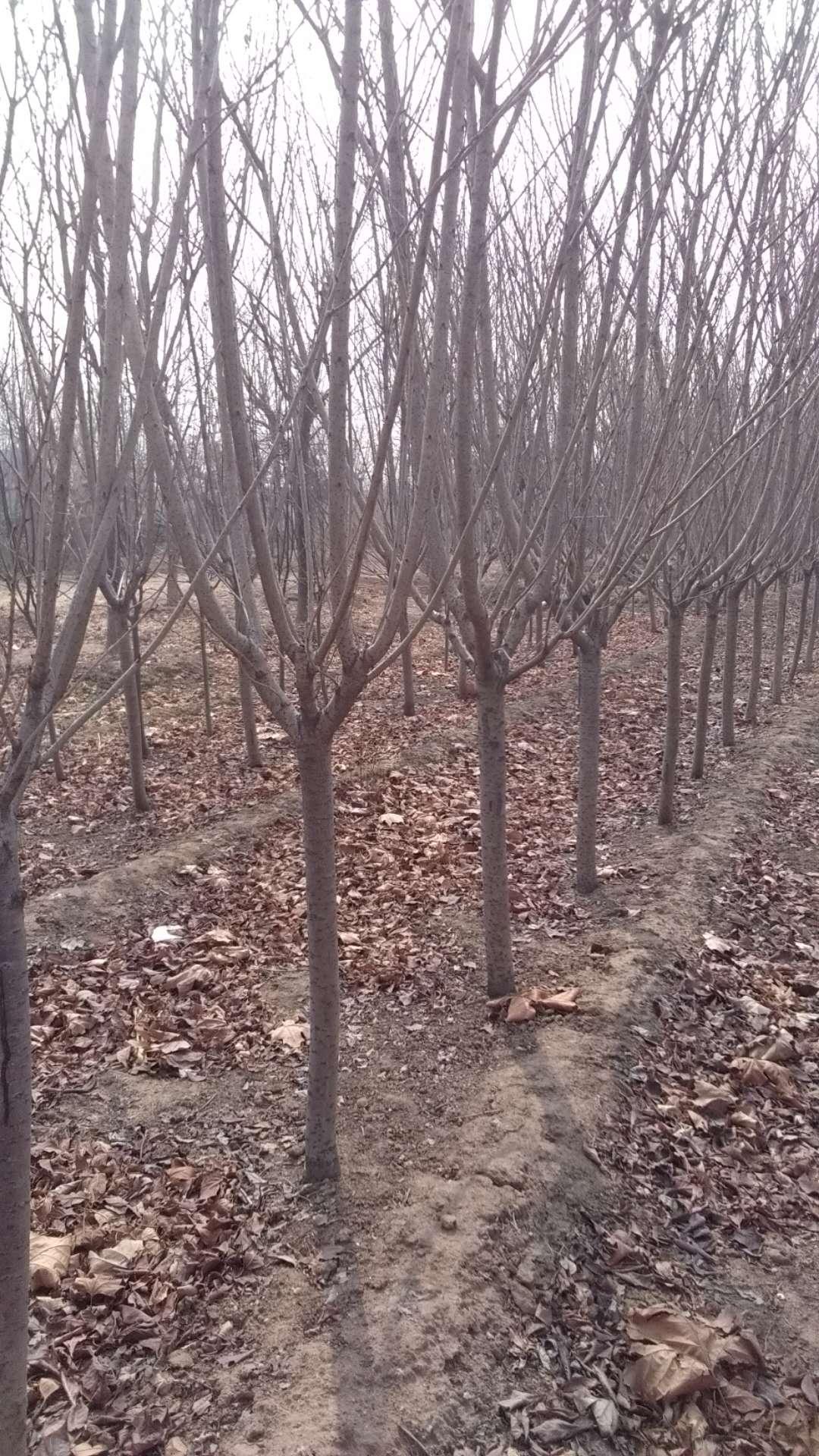樱花树基地